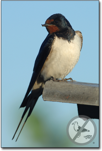 Barn Swallows | How to Get Rid of Barn Swallows | Bird B Gone