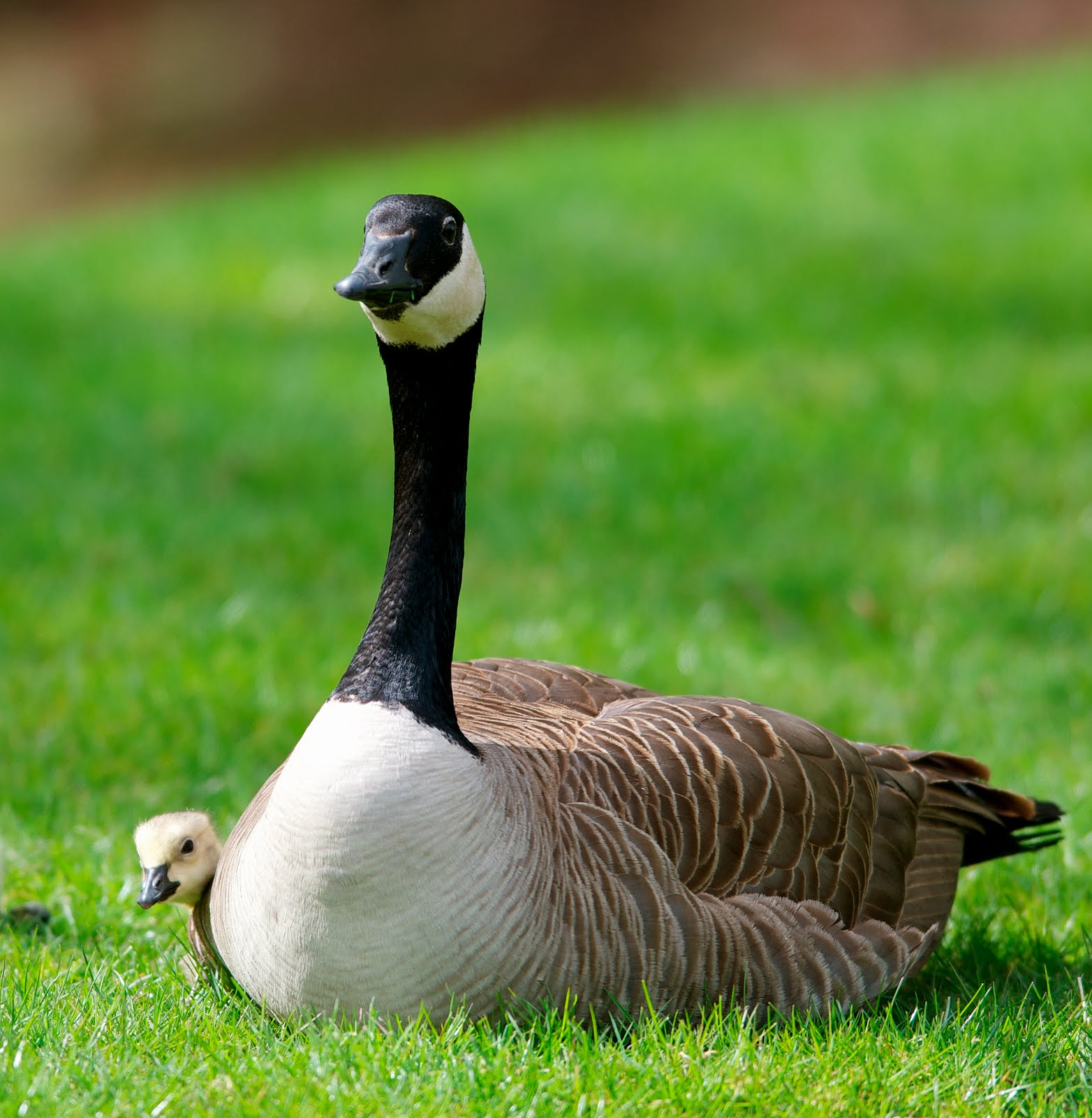 how to get rid of canadian geese