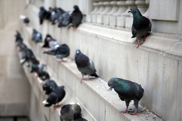 Illinois bird control