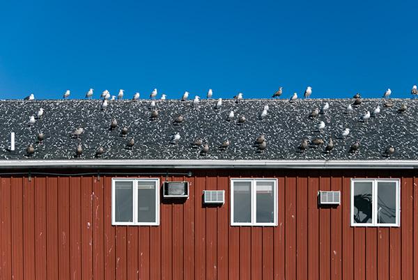 Maine bird control