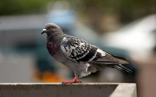 Ohio bird control