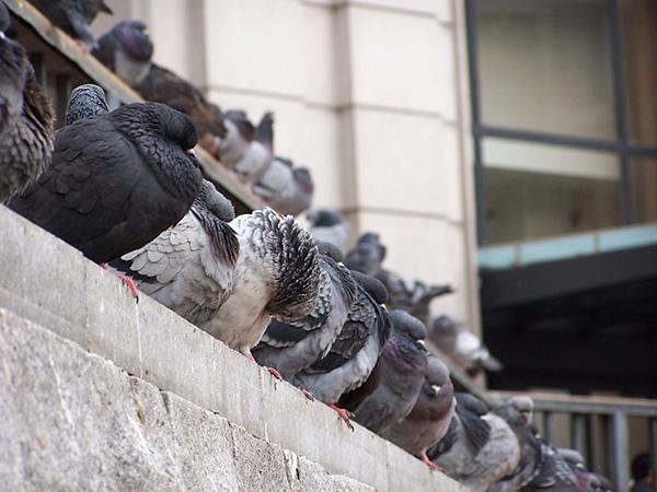 Utah bird control